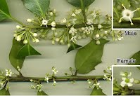 Holly Male & Female Flowers