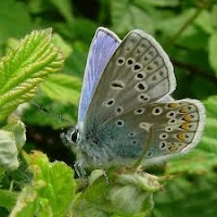 Common Blue Wings