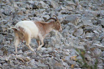 Feral goat in the Pyrinees