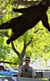 black bear falling
