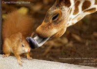 Dec 4, 2012  Camel Kissing Mouse    Photoshopped by Volatility Research Frog  Dec 4, 2012  www.goo.gl/Hmnqi