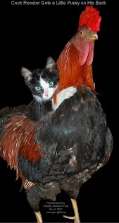 Dec 4, 2012  Cock Rooster Gets a Little Pussy on His Back    Photoshopped by Volatility Research Frog  Dec 4, 2012  www.goo.gl/Hmnqi