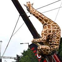 Flying Giraffe Crashes Knocks Down 6 Power Line Poles