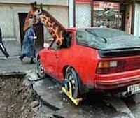 Dec 13, 2012  Stranded Giraffe In Car Preventing Road Repair