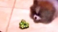 Ihate Bur Rokoli the 7-week old Pomeranian attacks broccoli and looses