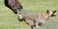 Sweetie the Never Upset Horse chases Coy the Coyote Then fires a big hocker to send him off like a rocket