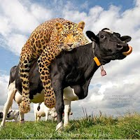 Tiger Riding On Happy Cow's Back (Volatility Research) 1000w