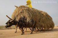 Big Bird Hauling Hay (Volatility Research) 1000w
