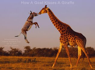 How A Goat Kisses A Giraffe (Volatility Research) 1000w