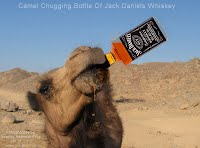 Camel Chugging Bottle Of Jack Daniels Whiskey (Volatility Research) 1000w