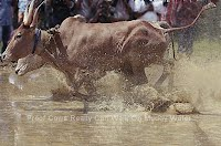 Proof Cows Really Can Walk On Muddy Water (Volatility Research) 1000w