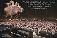 Worlds Largest And Fastest Rodent Doing Rare Fly By Crowd With 4 Monkeys On Back Capybara (Volatility Research)