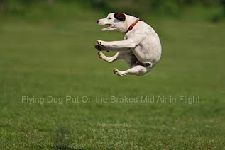Flying Dog Put On the Brakes Mid Air in Flight
