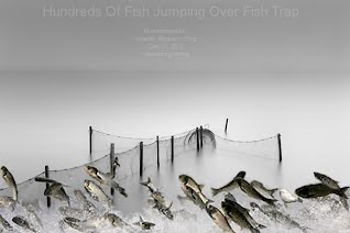 Hundreds Of Fish Jumping Over Fish Trap