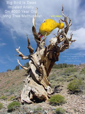 Big Bird Is Dead Impaled Anally On 4000 Year Old Living Tree Mehtuselah (Volatility Research) 1000h