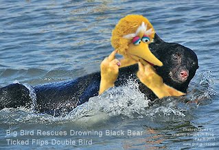 Big Bird Rescues Drowning Black Bear Ticked Flips Double Bird (Volatility Research) 1000w