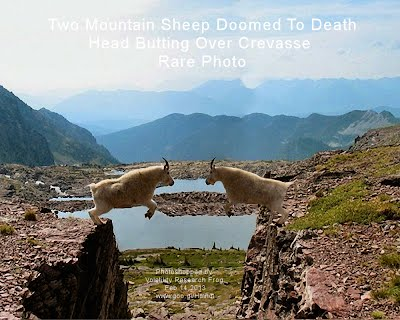 Two Mountain Sheep Doomed To Death Head Butting Over Crevasse Rare Photo (Volatility Research) 1000w