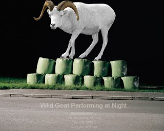 Wild Goat Performing at Night