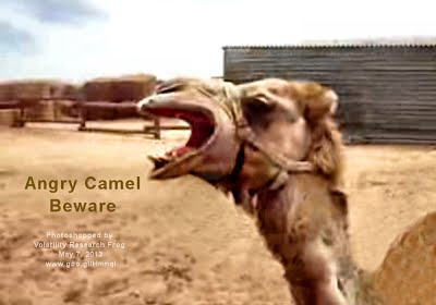 Angry Camel Beware (Volatility Research) 1000w