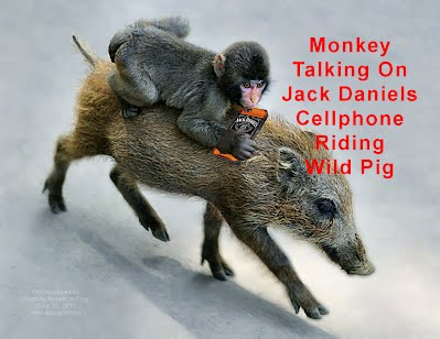 Monkey Talking On Jack Daniels Cellphone Riding Wild Pig (Volatility Research) 1000h